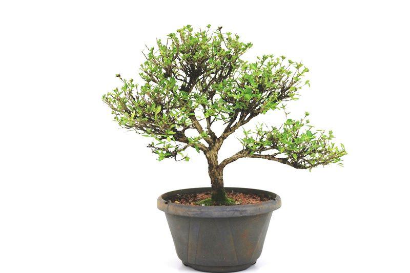 Pré- Bonsai Serissa Chinesa  06 anos - medida da planta (AxL) 26x34 cm