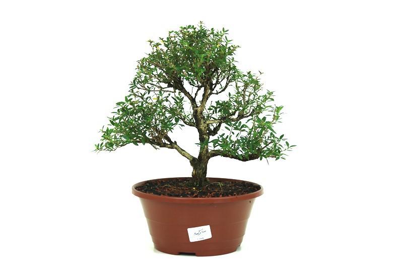 Pré- Bonsai Serissa Chinesa  06 anos - medida da planta (AxL) 28x31 cm