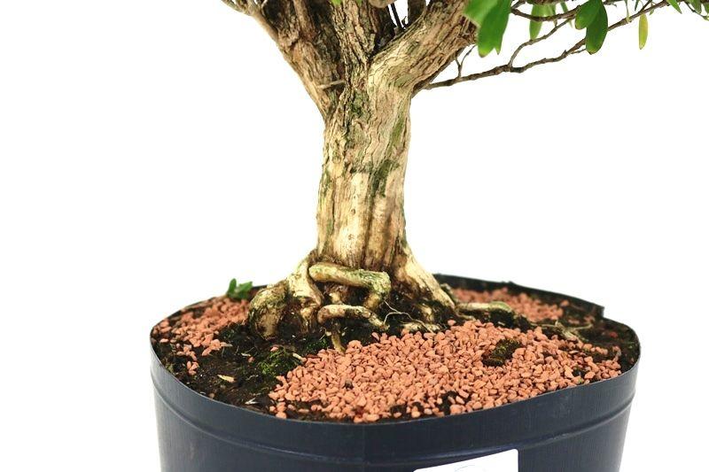 Pré- Bonsai Serissa Chinesa  08 anos - medida da planta (AxL) 27x29 cm