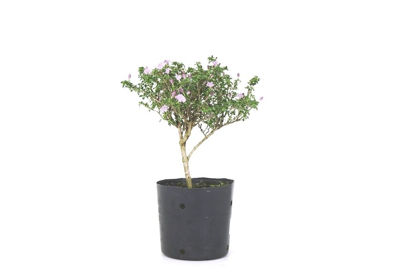 Pré-Bonsai Serissa Rosa 1,5 anos - Medida da Planta (AXL) 19x18 cm