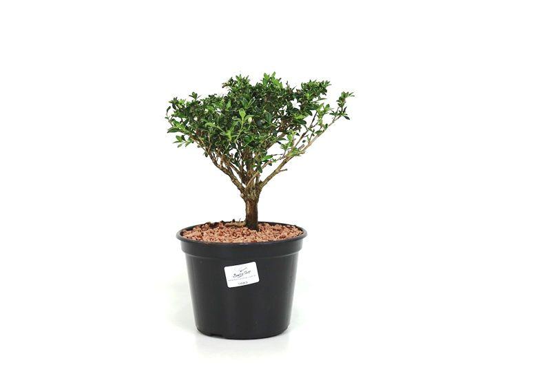 Pré-Bonsai Serissa variegata 2 anos - Medida da Planta (AXL) 16x13 cm