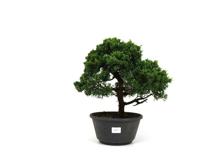 Pré-Bonsai Shimpaku 12 anos medida da planta (AxL) 34x43 CM