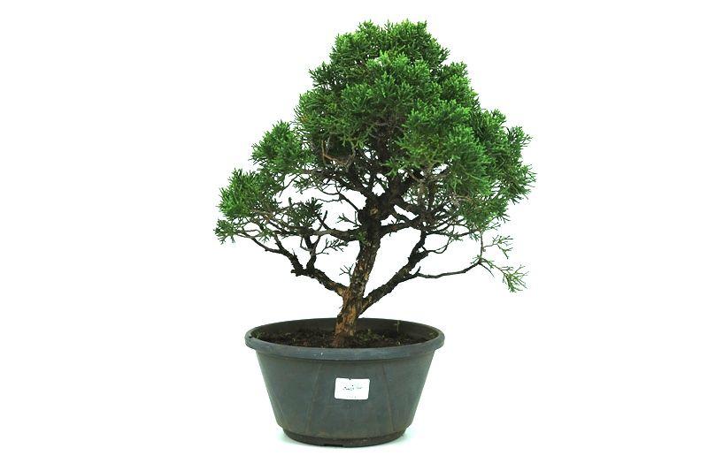 Pré-Bonsai Shimpaku 13 anos medida da planta (AxL) 32x28 CM
