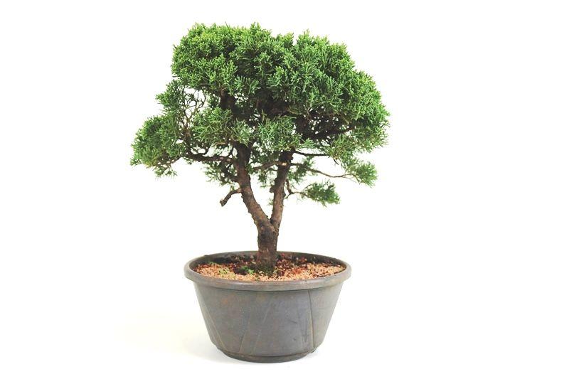 Pré-Bonsai Shimpaku 13 anos medida da planta (AxL) 32x33 CM