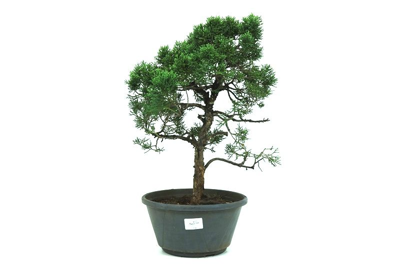 Pré-Bonsai Shimpaku 13 anos medida da planta (AxL) 36x29 CM