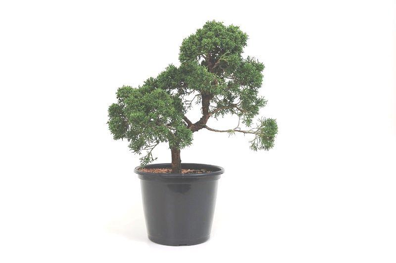 Pré-Bonsai Shimpaku 14 anos medida da planta (AxL) 15x32 CM