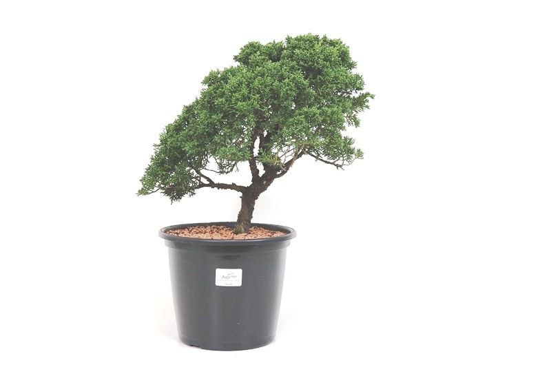 Pré-Bonsai Shimpaku 14 anos medida da planta (AxL) 30x31 CM