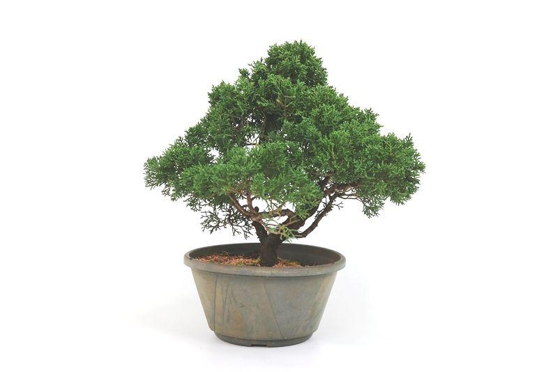 Pré-Bonsai Shimpaku 14 anos medida da planta (AxL) 31x34 CM