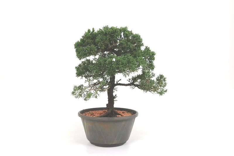Pré-Bonsai Shimpaku 14 anos medida da planta (AxL) 32x34 CM