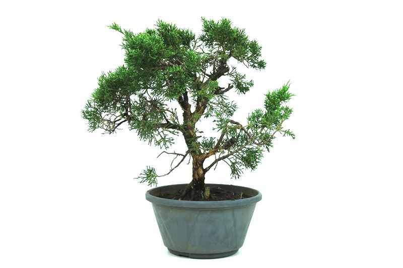Pré-Bonsai Shimpaku 13 anos medida da planta (AxL) 34x40 CM