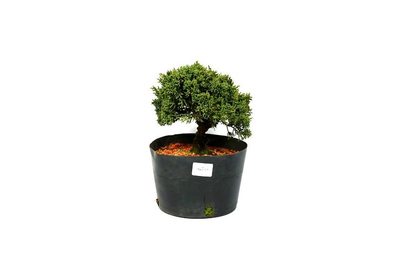 Pré-Bonsai Shimpaku 2,5 anos medida da planta (AxL) 17x18 CM