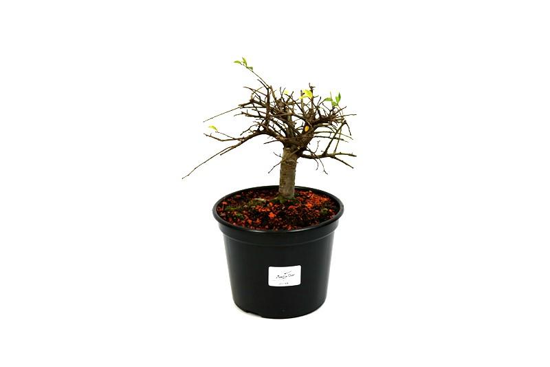 Pré-Bonsai Ulmus 03 anos - medida da planta (AxL) 12x13 cm
