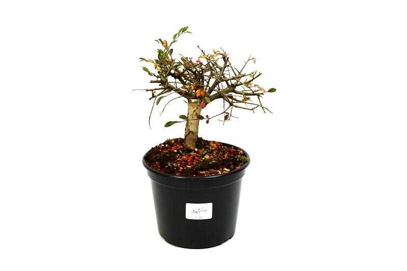 Pré-Bonsai Ulmus 03 anos - medida da planta (AxL) 13x15 cm