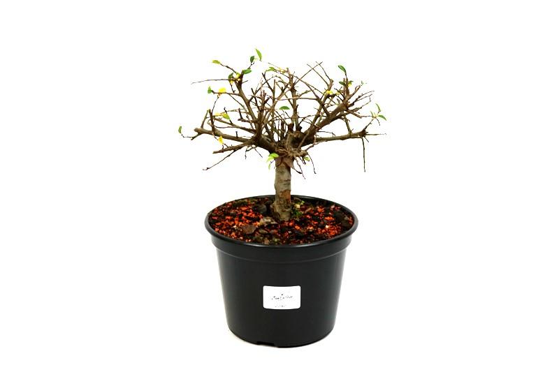 Pré-Bonsai Ulmus 03 anos - medida da planta (AxL) 13x16 cm