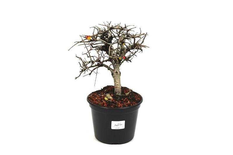 Pré-Bonsai Ulmus 04 anos - medida da planta (AxL) 19x19 cm