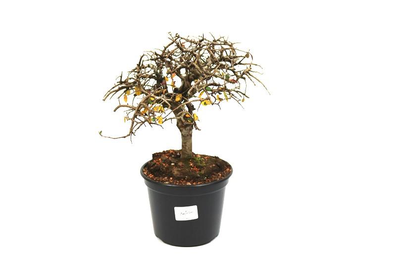 Pré-Bonsai Ulmus 04 anos - medida da planta (AxL) 19x20 cm