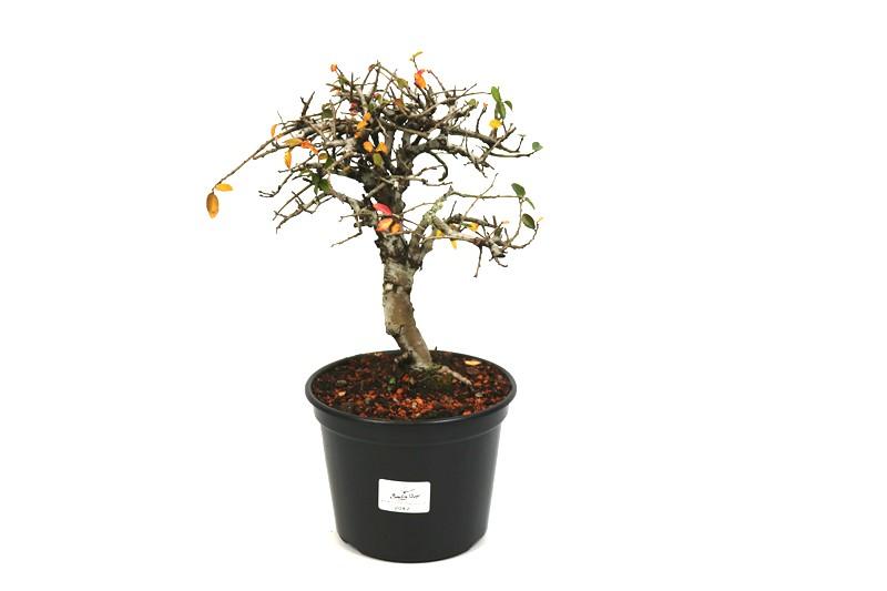 Pré-Bonsai Ulmus 04 anos - medida da planta (AxL) 20x17 cm