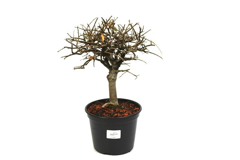 Pré-Bonsai Ulmus 04 anos - medida da planta (AxL) 21x22 cm