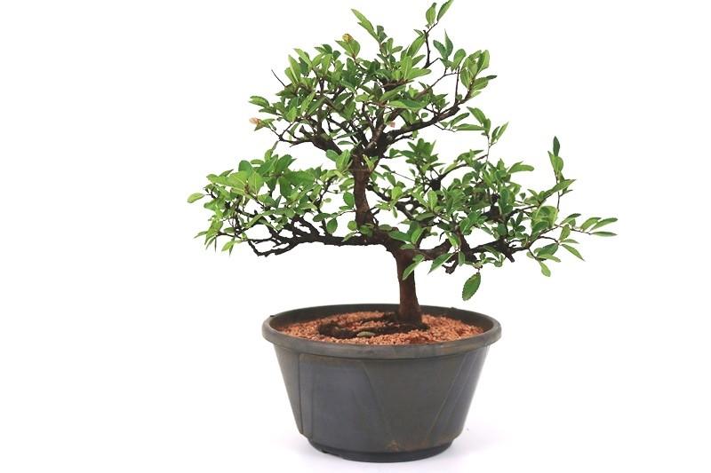 Pré-Bonsai Ulmus 08 anos - medida da planta (AxL) 28x33 cm