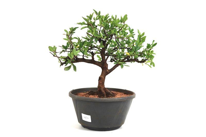 Pré-Bonsai Ulmus 08 anos - medida da planta (AxL) 29x34 cm
