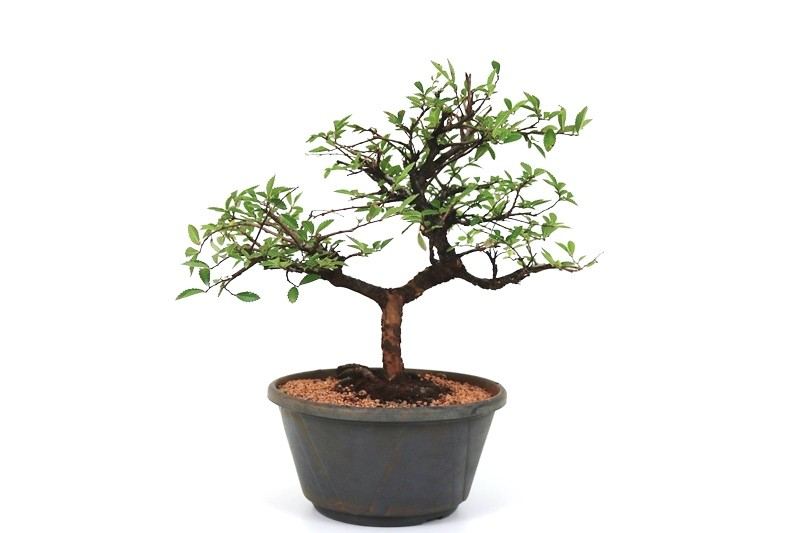 Pré-Bonsai Ulmus 08 anos - medida da planta (AxL) 29x38 cm