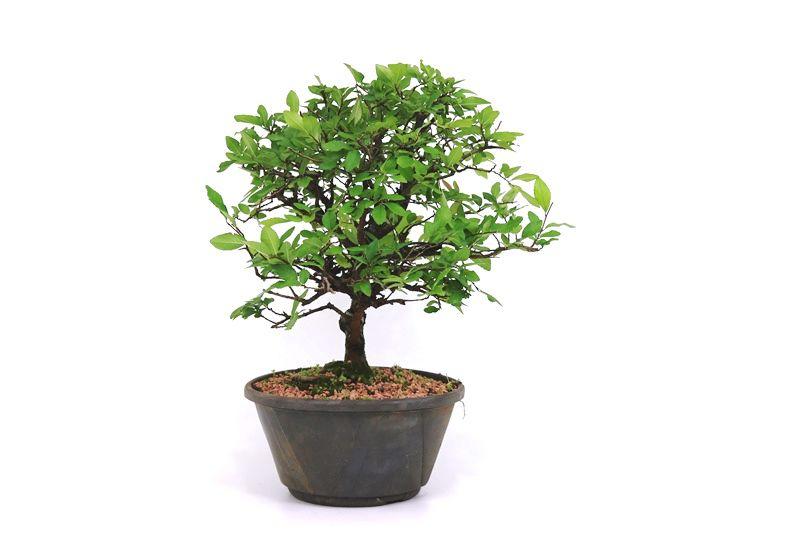 Pré-Bonsai Ulmus 08 anos - medida da planta (AxL) 30x32 cm