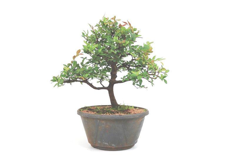 Pré-Bonsai Ulmus 08 anos - medida da planta (AxL) 32x32 cm