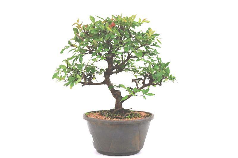 Pré-Bonsai Ulmus 08 anos - medida da planta (AxL) 32x36 cm