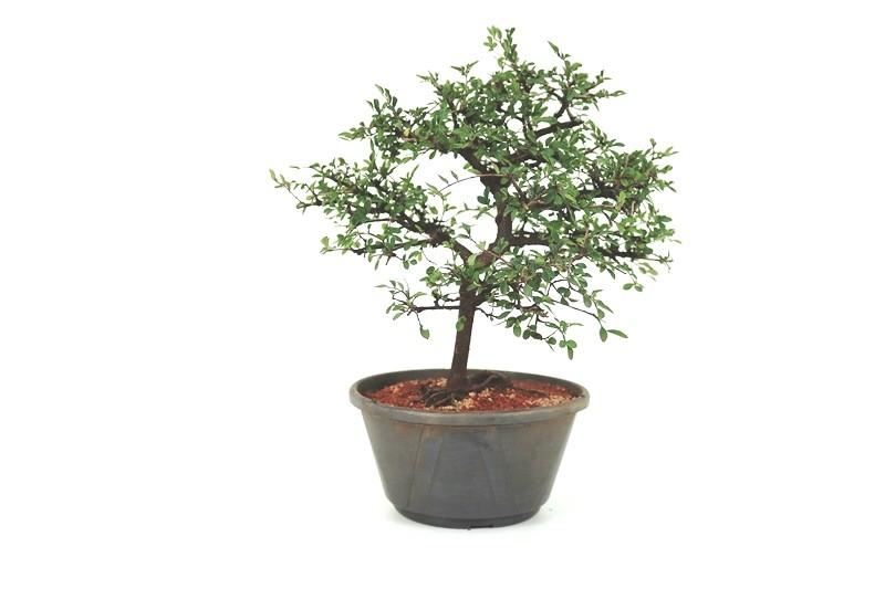 Pré-Bonsai Ulmus 08 anos - medida da planta (AxL) 33x33 cm