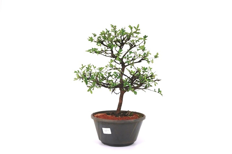 Pré-Bonsai Ulmus 08 anos - medida da planta (AxL) 33x36 cm