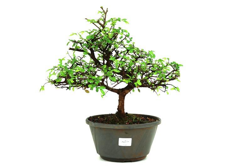 Pré-Bonsai Ulmus 08 anos - medida da planta (AxL) 33x38 cm