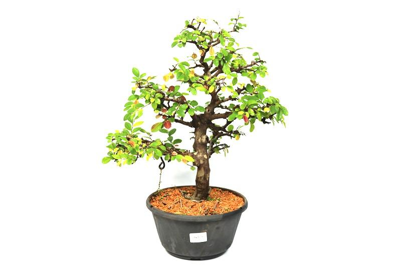 Pré-Bonsai Ulmus 10 anos - medida da planta (AxL) 38x37 cm