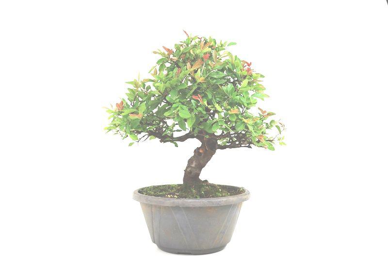 Pré-Bonsai Ulmus 16 anos - medida da planta (AxL) 37x40 cm