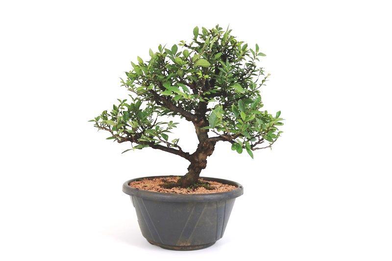 Pré-Bonsai Zelkova 12 anos - medida da planta (AxL) 36x40 cm