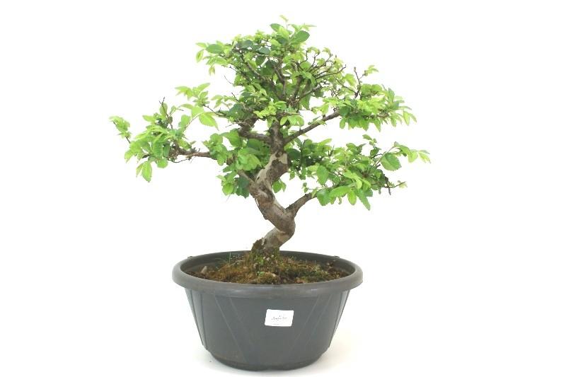 Pré-Bonsai Zelkova aproximadamente 10 anos - medida da planta (AxL) 36x40 cm