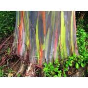 200 Sementes Frescas De Eucalipto Arco Iris (frete Grátis)