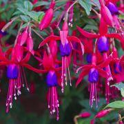 Muda da Flor Brinco de Princesa - Fuchsia Hybrida