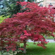 Muda de Acer Palmatum Atropurpureum - Enxertada