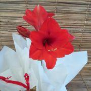 Amarílis vermelho no cachepô