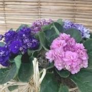 Cachepot com 4 violetas
