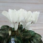 Cyclamen branco no cachepô