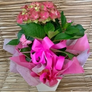 Hortência cor de rosa no cachepô