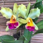 Orquídea Cattleya 190508004 no cachepô