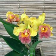 Orquídea Cattleya no cachepô