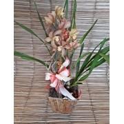 Orquídea Cymbidium Marrom 2 haste no cachepô