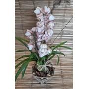 Orquídea Cymbidium Rosa 4 haste no cachepô