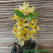 Orquídea Dendrobium mini amarela 17101016