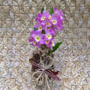 Orquídea Dendrobium pote-15 no cachepô