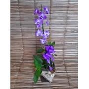 Orquídea Denfal alta no cachepô