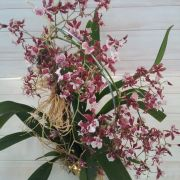 Orquídea Oncidium Sharry Baby